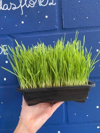 Clorofila/Pet Grass