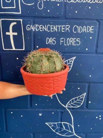 Cactus coroa de frade com vaso de cerâmica