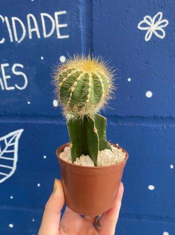 Cactus Misto